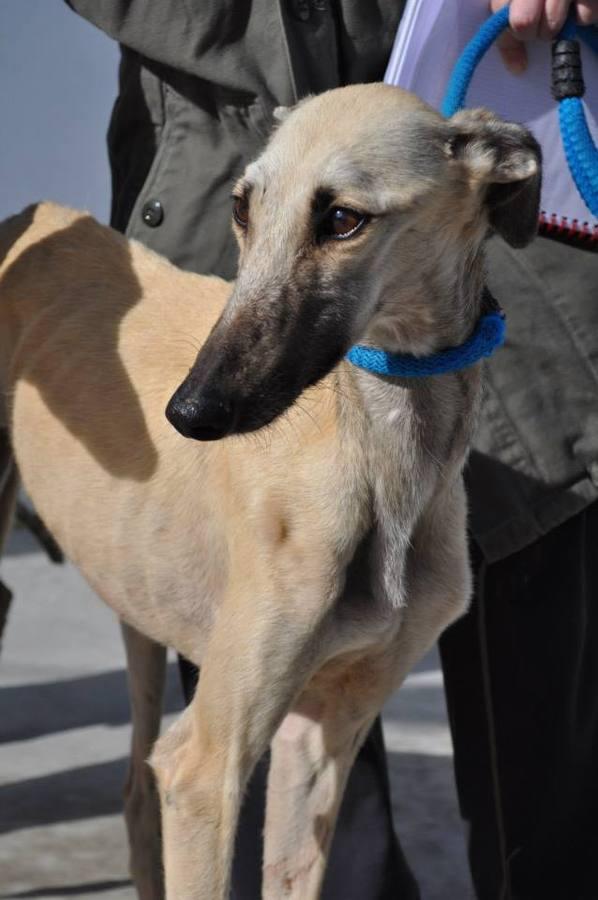 SOS Perrera pide ayuda para cuatro galgos